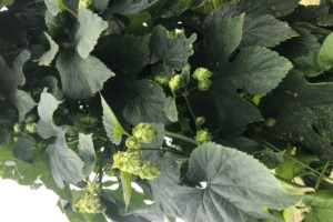 Growing Local Hops and Crops for the Craft Beer Boom
