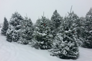 Cut Your Own Frederick County Christmas Tree This Season
